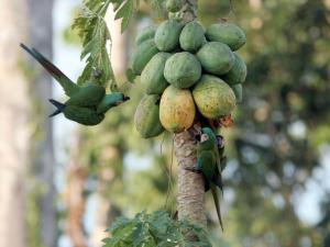 12.Papaya
